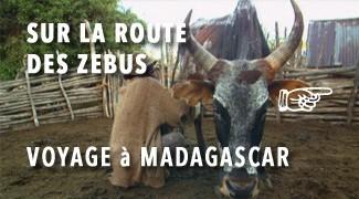 La Route des Zébus